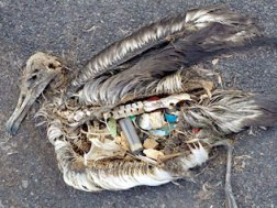 132649-dt-story-albatross-chick-full-of-plastic